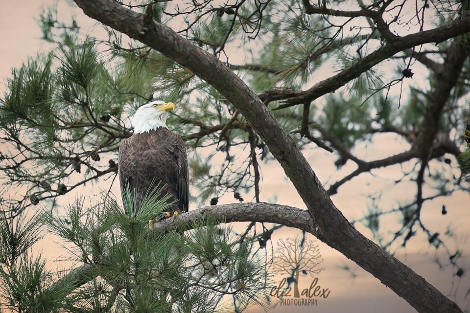bald eagle of the woodlands texas photographer