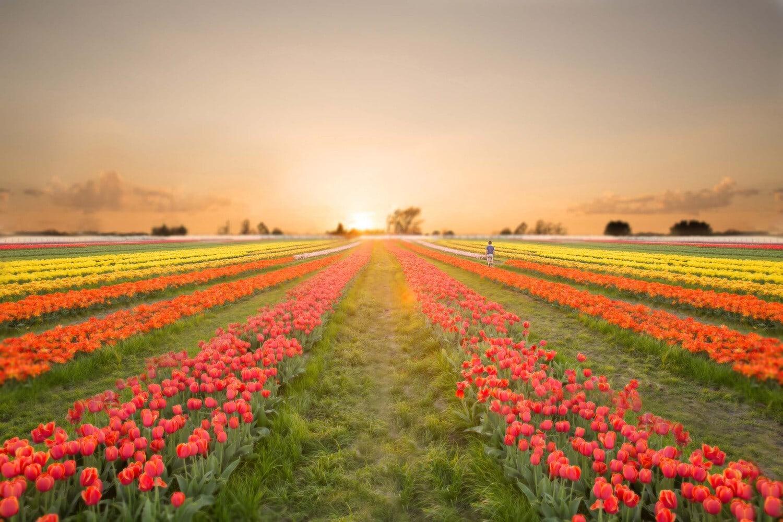 Allen Texas Photographer Tulips Dallas